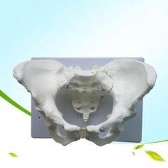 Female Pelvic Model Joint Metatarsal Bone Structure Gynecology Display Teaching Medicine (White)