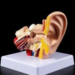 1.5 Times Magnifier Official Human Ear Anatomy Model (As Show)