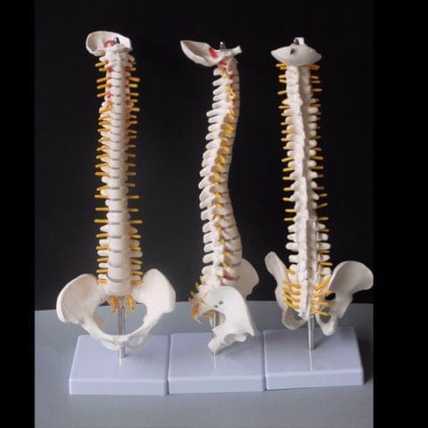 Human Spine with Pelvic Model Human Anatomical Anatomy Spine Medical Model Spinal Column Model, Size: 45cm